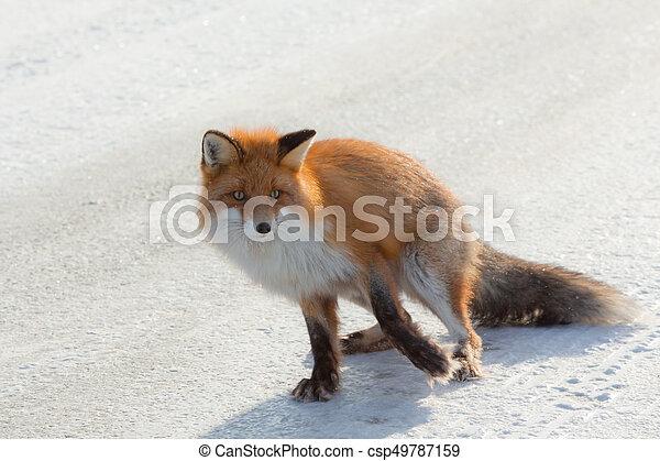 Gehen Einsam Fuchs Winter Schnee Gefrorenes Land Fuchs