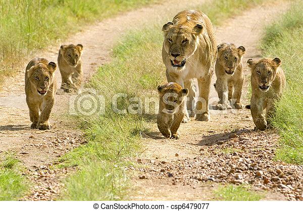 gehen, löwin, sie, masai, kenya's, durch, junge, fünf, mara - csp6479077
