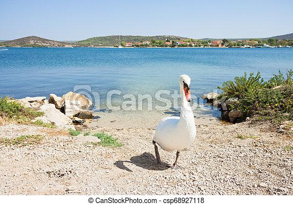 gehen, sibenik-knin, schwan, -, kroatien, weißer strand, bilice, aufwärts - csp68927118