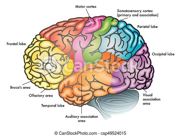 Gehirn, bereiche. Gehirn, medizin, vektor, abbildung, bereiche.