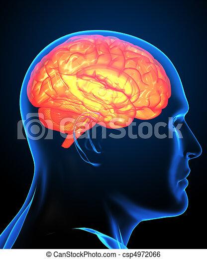 Gehirn, bild, menschliche , röntgenaufnahme. Gehirn, bild ...