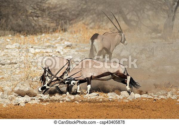 Luchando contra los antílopes gemsbok - csp43405878