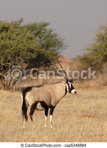 Gemsbok (Oryx gacela) en el desierto de Kalahari, Namibia - csp5348884