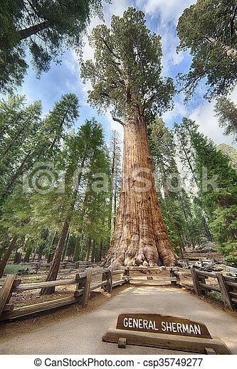 General Sherman Giant Sequoia - csp35749277