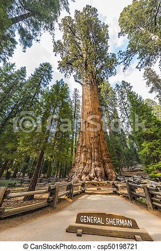 General Sherman Giant Sequoia - csp50198721