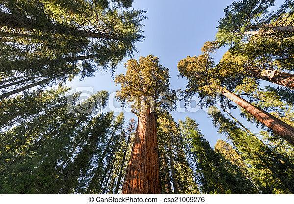 General Sherman Sequoia Tree - csp21009276