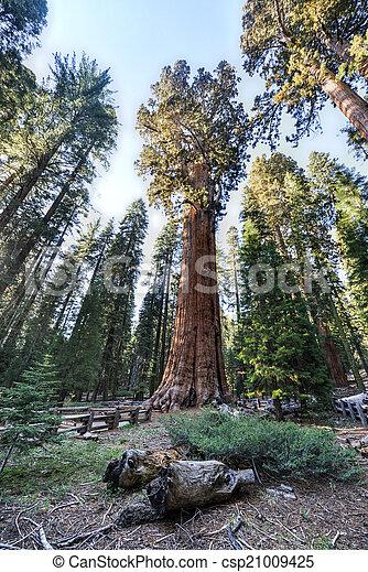 General Sherman Sequoia Tree - csp21009425