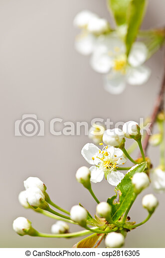 Gentle white spring flowers - csp2816305
