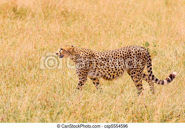 Cheetah im Feld - csp5554596