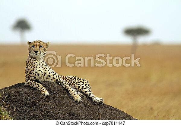 gepard, masai mara - csp7011147