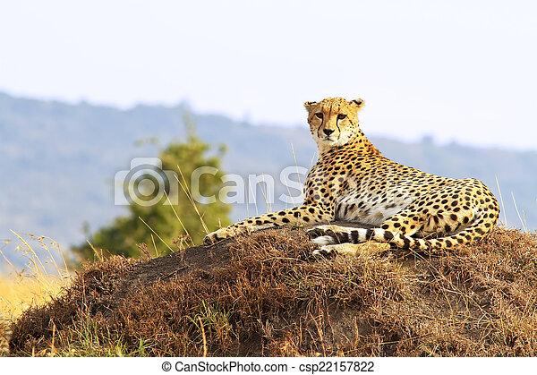 gepard, masai mara - csp22157822