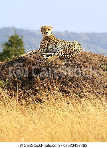 gepard, masai mara - csp23437493