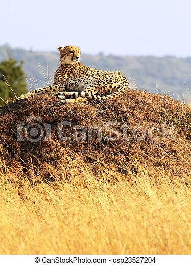 gepard, masai mara - csp23527204