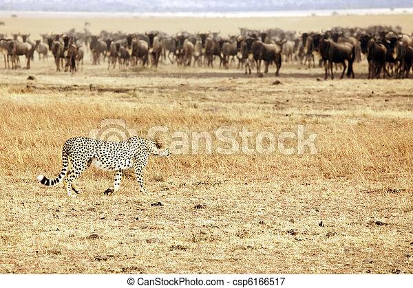 gepard, masai, wildebeest, mara, pirschen - csp6166517