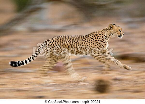 gepard, rennender  - csp9190024