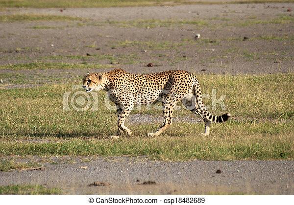 gepard, tansania, park, national - csp18482689