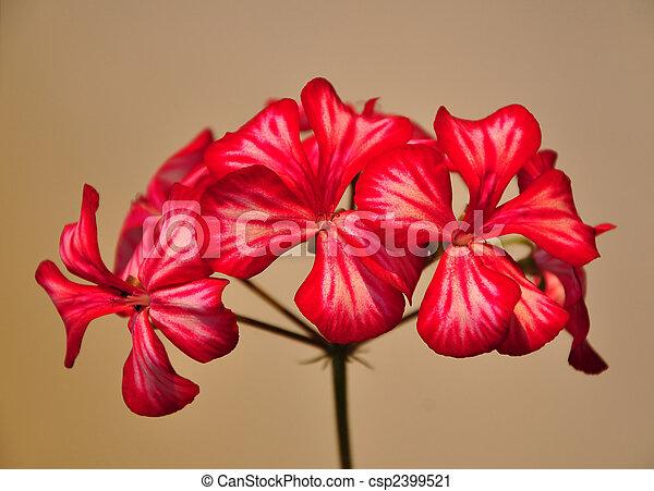Flor de geranio - csp2399521