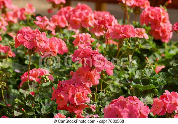 Flores de Geranio en el jardín - csp17880568