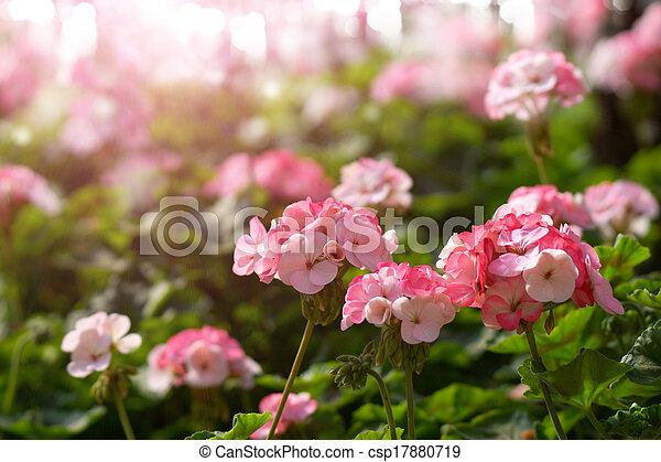 Flores de Geranio en el jardín - csp17880719