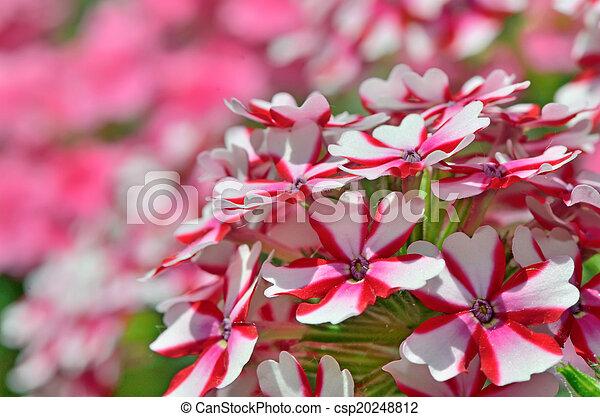 Flores de Geranio - csp20248812
