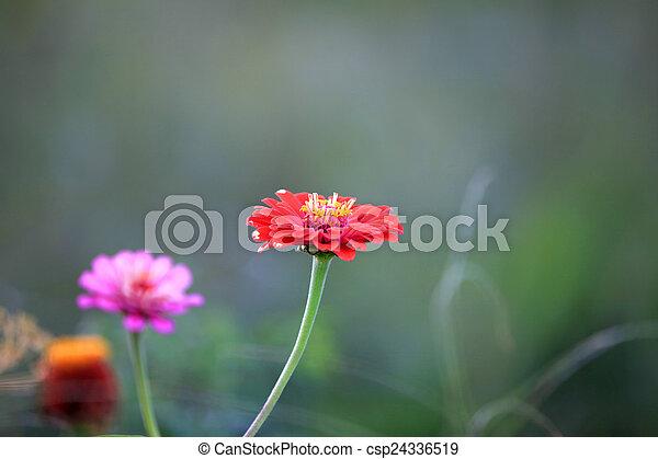 Gerber flowers - csp24336519