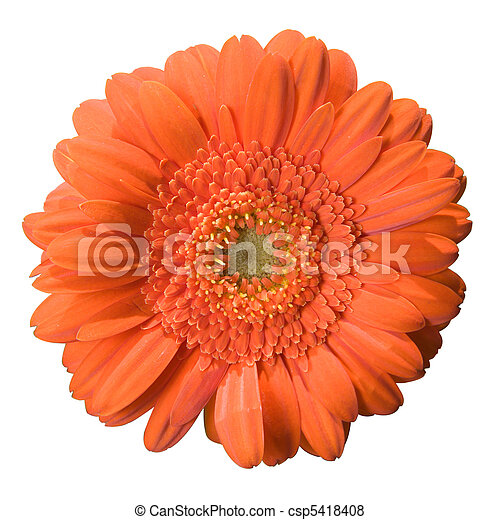 Gerbera Bloom - csp5418408