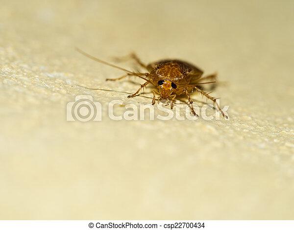 German cockroach, Blattella germanica on yellow wall. Face. - csp22700434