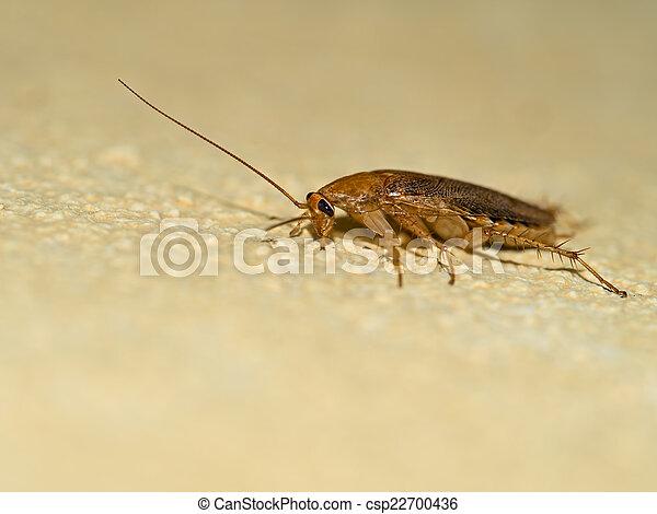 German cockroach, Blattella germanica on yellow wall, profile. - csp22700436