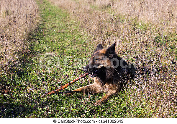 German shepherd dog chewing on a stick - csp41002643