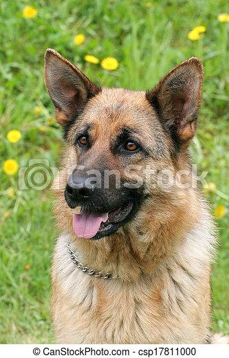 German Shepherd Dog in a garden - csp17811000
