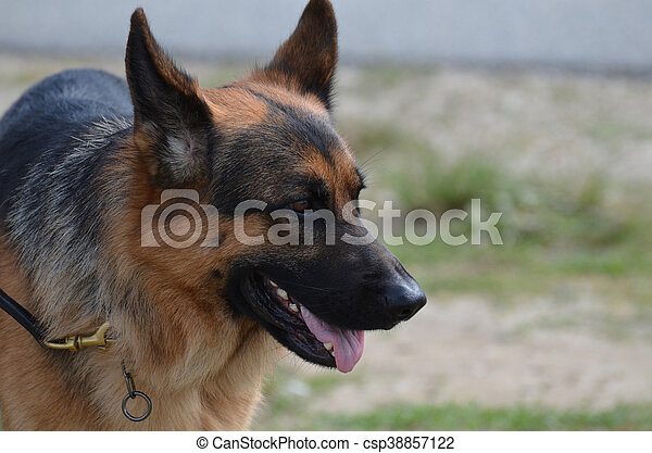 German Shepherd Dog on a Leash - csp38857122