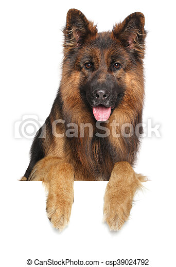 German shepherd dog on a white background - csp39024792