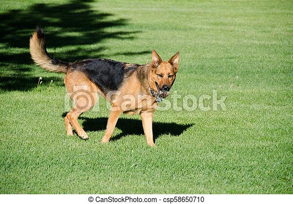 German shepherd dog running on a meadow - csp58650710