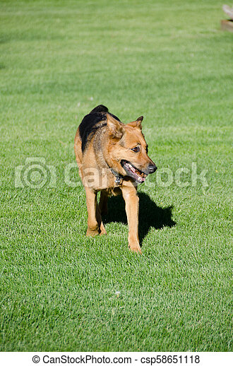 German shepherd dog running on a meadow - csp58651118