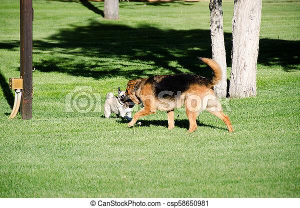 German shepherd dog running on a meadow - csp58650981