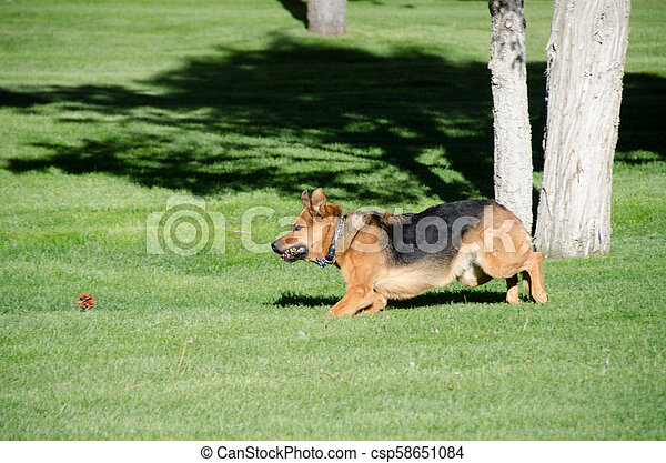 German shepherd dog running on a meadow - csp58651084