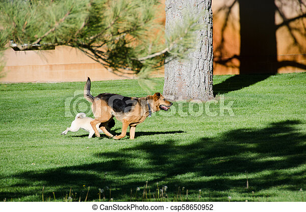 German shepherd dog running on a meadow - csp58650952