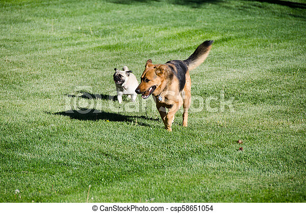 German shepherd dog running on a meadow - csp58651054