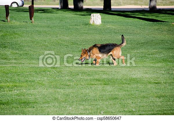 German shepherd dog running on a meadow - csp58650647