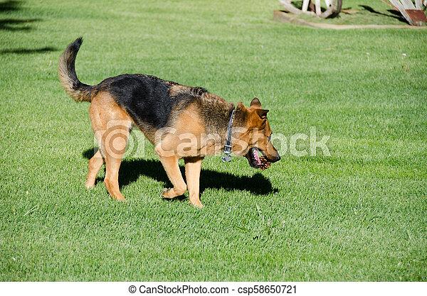 German shepherd dog running on a meadow - csp58650721