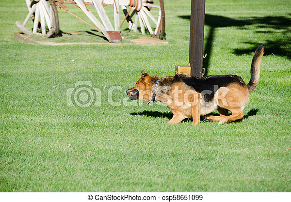 German shepherd dog running on a meadow - csp58651099