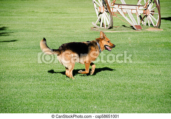 German shepherd dog running on a meadow - csp58651001