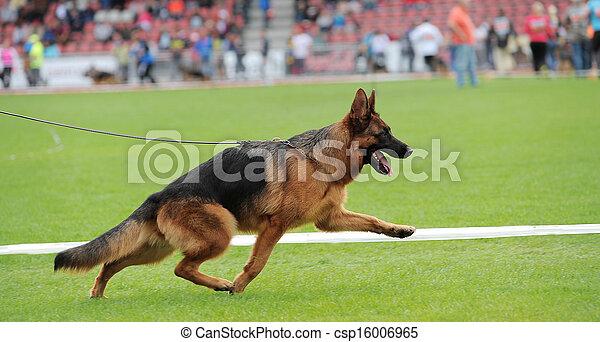German shepherd dog running - csp16006965