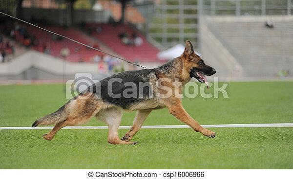 German shepherd dog running - csp16006966