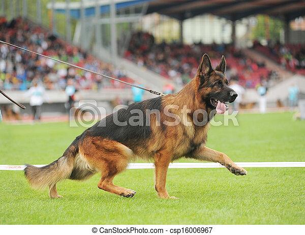 German shepherd dog running - csp16006967