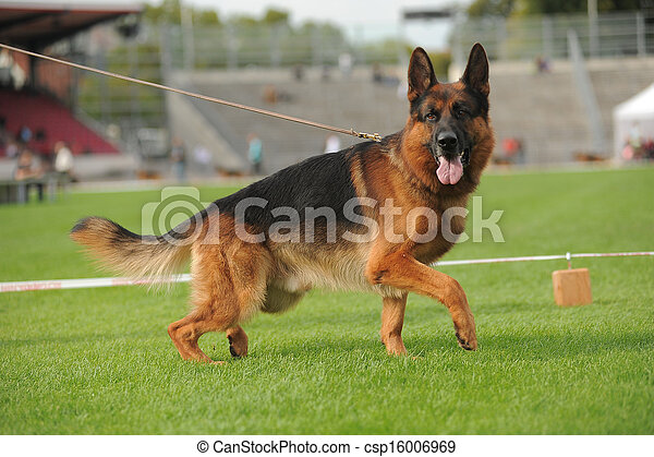 German shepherd dog running - csp16006969