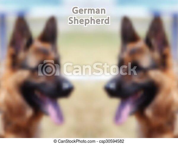 German Shepherd - csp30594582