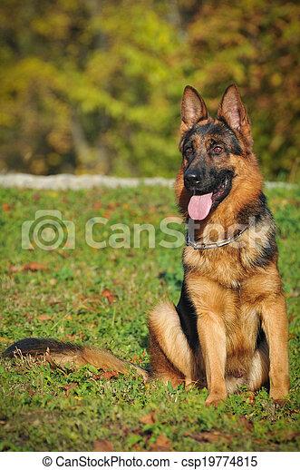 German shepherd - csp19774815