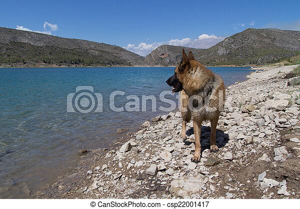 German Shepherd - csp22001417