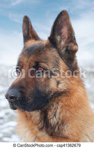 German shepherd - csp41362679